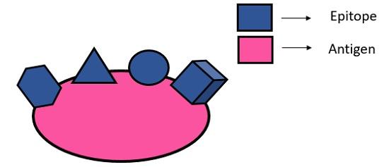 antigen diagram