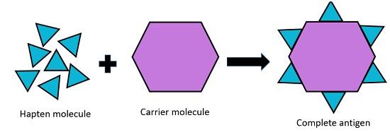 complete antigen formation
