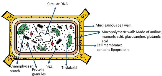 cyanobacteria structure