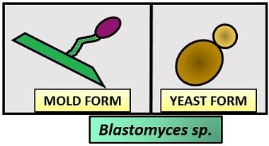 BLASTOMYCES SP.