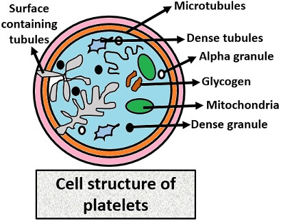 CELL STRUCTURE OF PLATELET