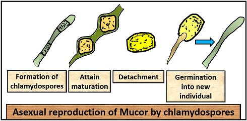 What is Mucor? characteristics, structure & life cycle