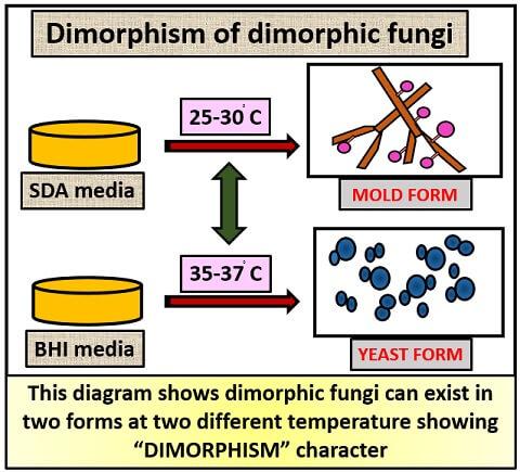 DIMORPHISM OF DIMORPHIC FUNGI