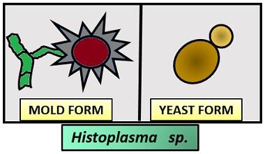 HISTOPLASMA SP.
