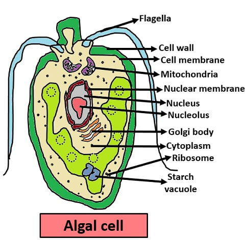 algal cell