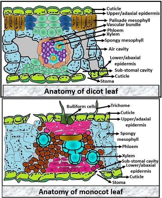 Difference Between Dicot And Monocot Leaf  With Comparison Chart