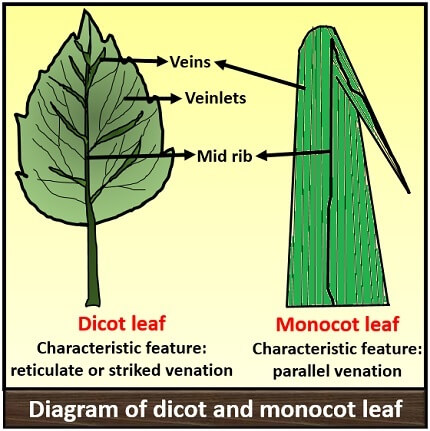 diagram of monocot and dicot leaf