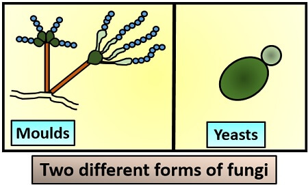 different forms of fungi