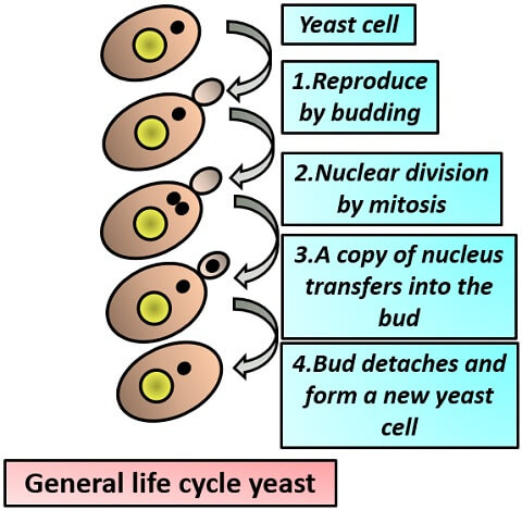 general life cycle of yeast