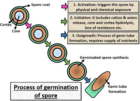 germination of spore