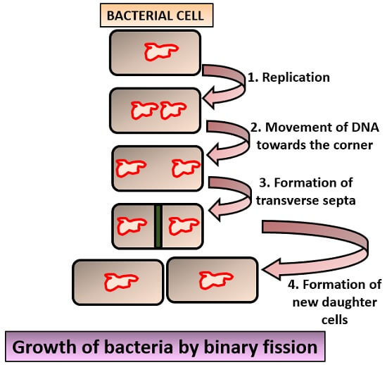 growth by binary fission