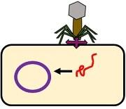 lysogenic b