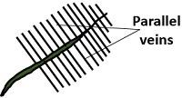 parallel veins