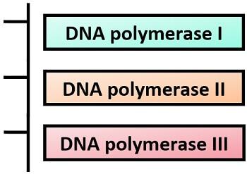 prokaryotic polymerases