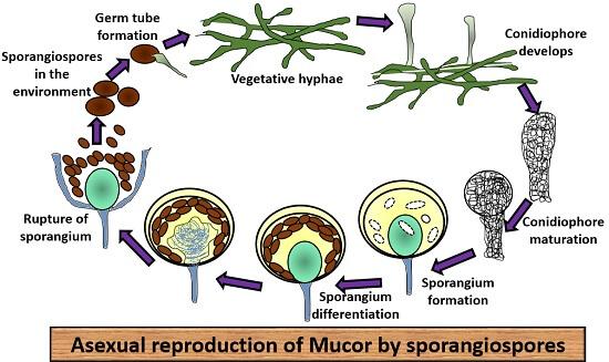 sporangiospores
