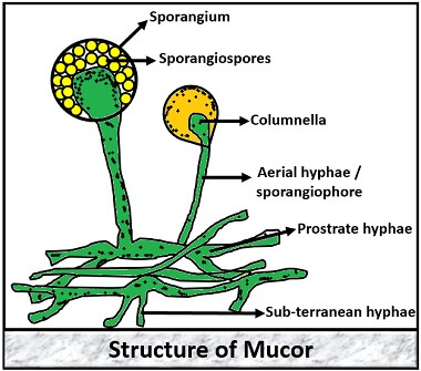 structure of mucor
