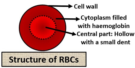 structure of RBC