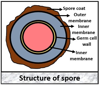 structute of spore