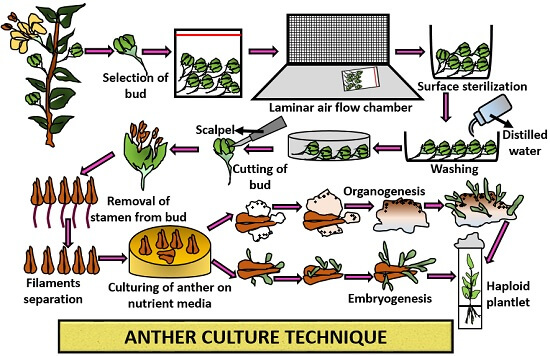 anther culture technique