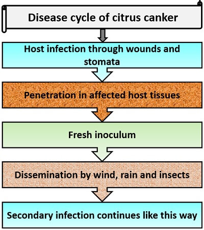 disease cycle of citrus canker