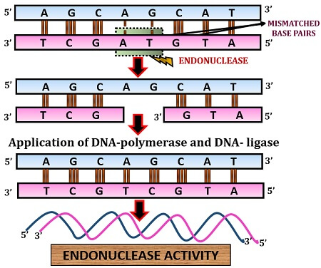 endonuclease activity