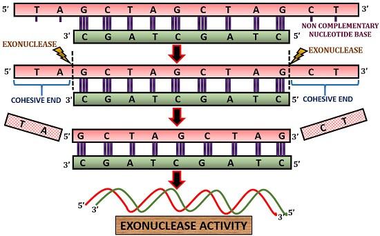 exonuclease activity