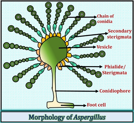 morphology of aspergillus