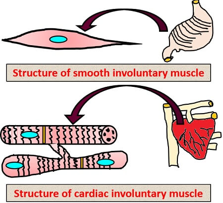 structure of involuntary muscle