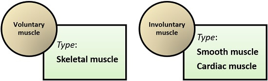 types of voluntary and involuntary muscle