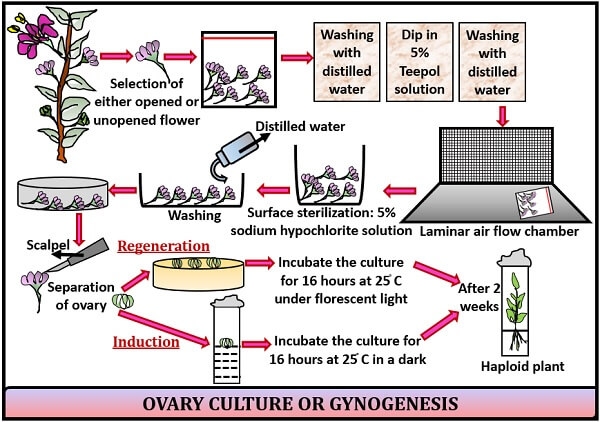 PROTOCOL OF OVARY CULTURE