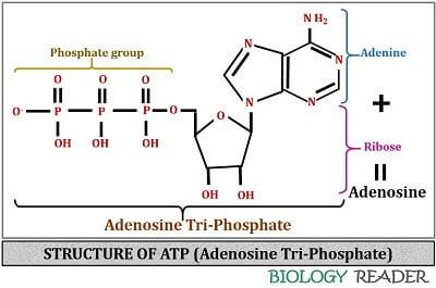Structure of Adenosine triphosphate