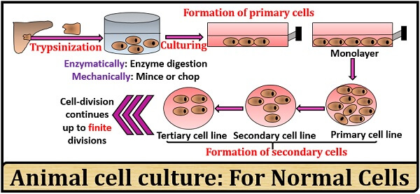 animal cell culture for normal cell