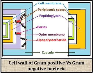 cell wall difference between Gram positive and Gram negative bacteria