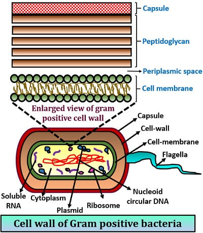 cell wall of gram positive bacteria