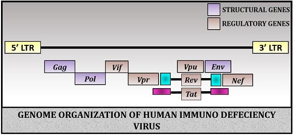 genome organization of HIV