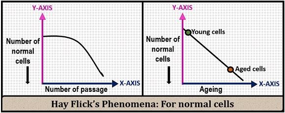 hay flicks phenomena for normal cells