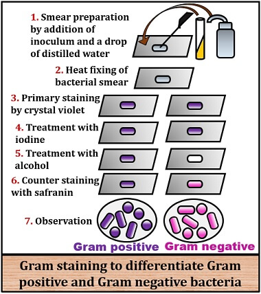 process of gram staining