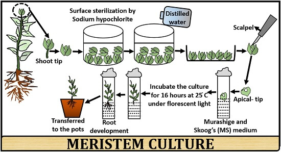 protocol of meristem culture