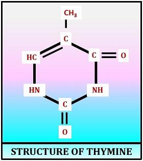 thymine structure