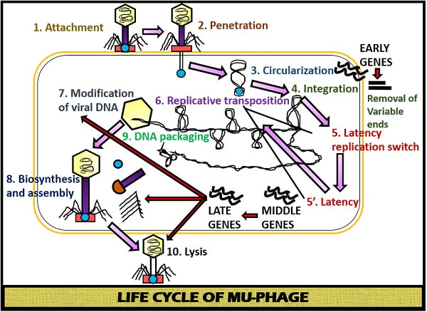 Life cycle of Mu phage