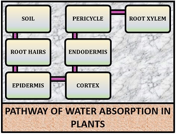 Pathway of water absorption