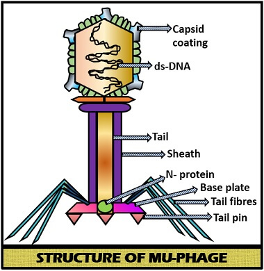 Structure of Mu-Phage