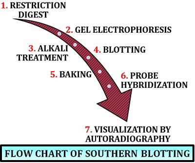 flow chart of southern blotting