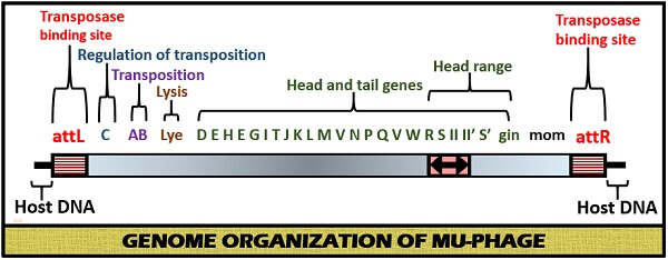 genome organization of Mu phage