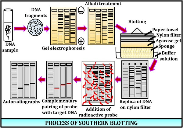 process of southern blotting