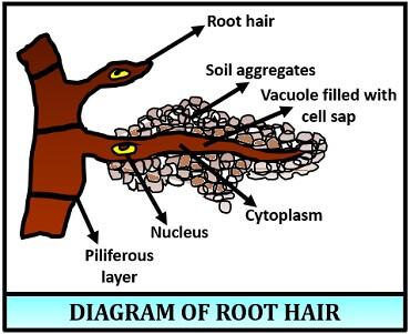 root hair diagram