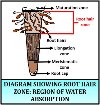 root hair region
