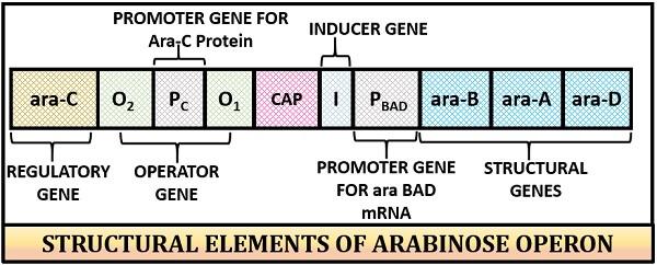 structure of arabinose operon