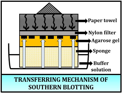 transferring mechanism of southern blotting