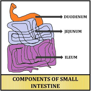 Difference Between Small Intestine and Large Intestine ...
